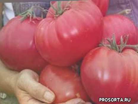 лучшие крупноплодные сорта томатов для открытого грунта, сорта новинки, сорта крупноплодных томатов для открытого грунта, томат сибирский князь, томат бабушкин секрет, томат медовый спас, томат король гигантов, томат великий воин