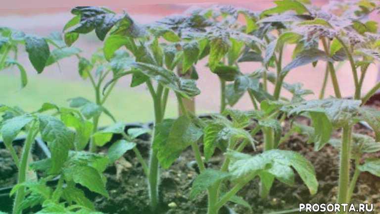 удобрение из яичной скорлупы, польза яичной скорлупы, яичная подкормка, вершинная гниль, средство для томатов, кальций, подкормка для цветов, комнатные растения