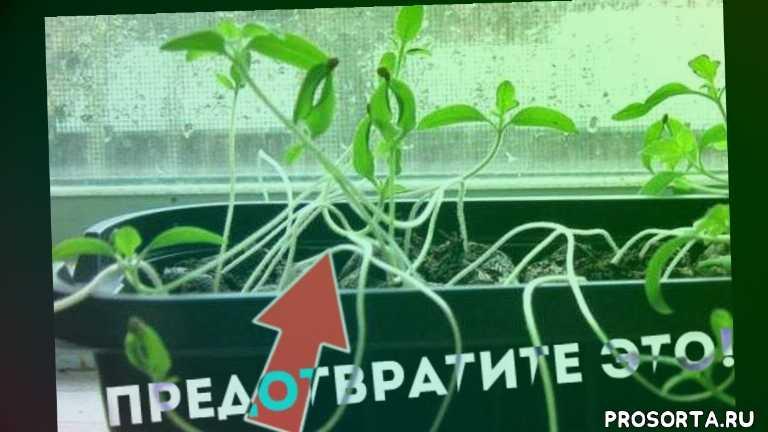 вытянулась рассады, рассада томатов тянется, сад огород life, сад-огород, уход за рассадой помидор, полив рассады помидор, подсветка рассады помидор, что делать с рассадой томатов?