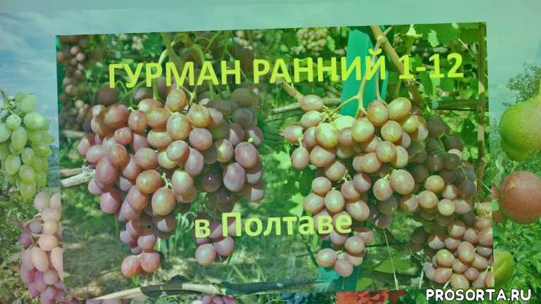 виноград крайнова, отзыв о винограде, вкусный виноград, хороший виноград, виноград розовый, столовый виноград, виноград гурман ранний 1-12, виноград гурман ранний