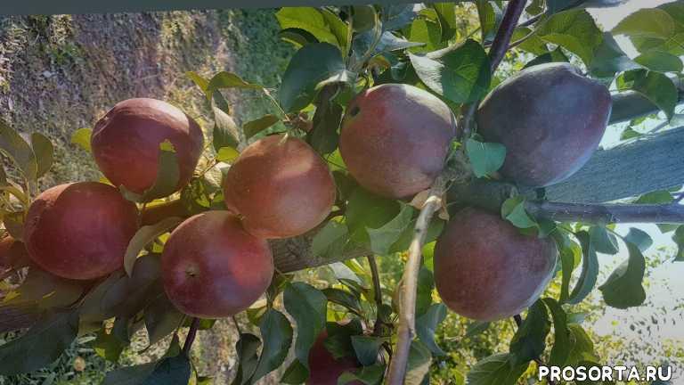 уход за яблоней, сад, лучшие иммунные сорта яблонь, иммунные сорта, черенки для прививки, черенки яблони моди, максим гаранжа, яблоня моди характеристика
