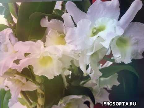самая простая орхидея, цветы, условия содержания, дендробиум, орхидеи