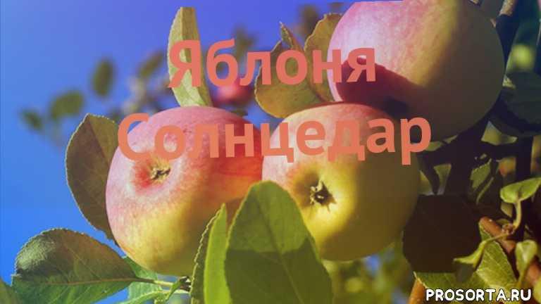 яблоня средний солнцедар как сажать, яблоня средний солнцедар обзор как сажать, яблоня средний солнцедар обзор, яблоня солнцедар обзор как сажать, деревья, средний яблоня солнцедар обзор как сажать, средний яблоня солнцедар обзор, средний яблоня