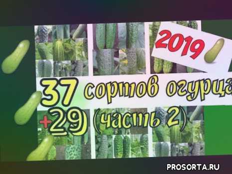 Крутейшие сорта огурцов 2019