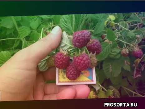 Малина Джоан Джей (Joan J) - Первый Урожай 6.06 2018 года
