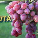 Виноград АНЮТА #1  (Grapes ANYUTA # 1)