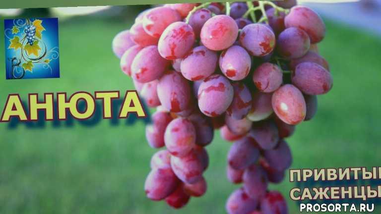 опрыскивание винограда, уход за виноградом, когда садить виноград, обзор сортов, обзор сорта анюта, поздние сорта винограда, поздние сорти винограду, лучшие сорта винограда