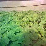 Выращивание в теплице Высадка кабачков в теплицу . как правильно сажать кабачки