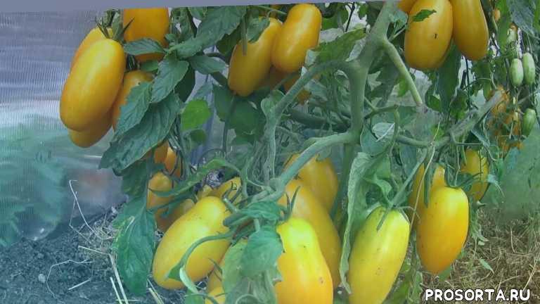 выращивание и уход, теплица, выращивание помидор в теплице, помидоры в теплице, помидоры, оранжевые томаты, урожай томатов 2016, томаты 2016
