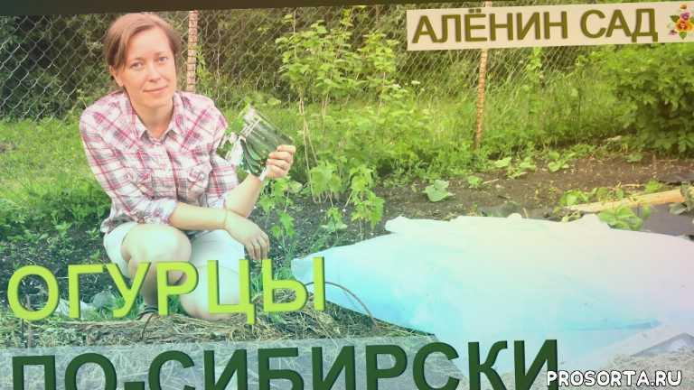 как выращивают огурцы, как выращивать огурцы, огурцы по-сибирски, выращивание огурцов