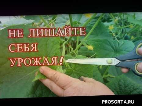 огурцы посадка, сажаем огурцы, как вырастить огурцы, выращивание огурцов на крапиве, выращивание огурцов, секреты посадки огурцов, как сажать огурцы, семена гавриш