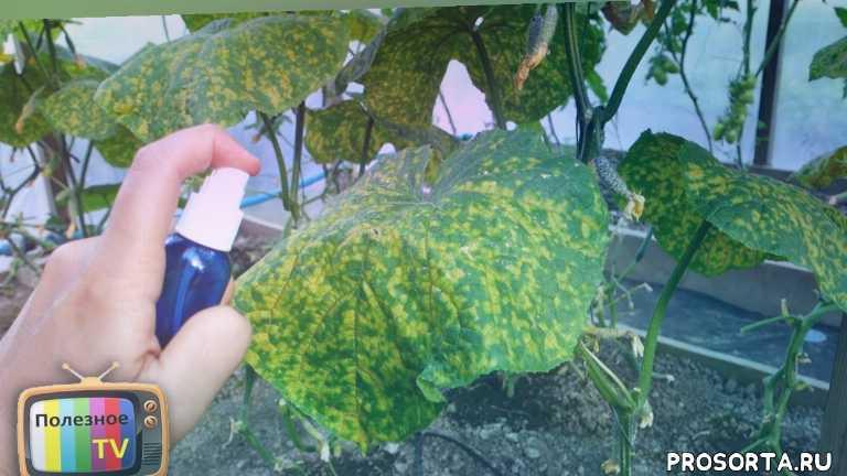 выращивание в теплице, открытый грунт, выращивание огурцов, болезни огурцов, огурцы, огурец, желтеет лист огурец рассада, почему у огурцов желтеют листьев
