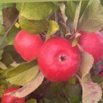 Яблоня сорт Фридом. Очень красивый и относительно редкий зарубежный сорт в садах.