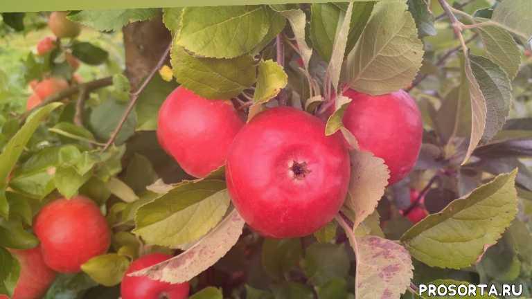 плодопитомник сад бай, плодопитомник бай, плодопитомник сад, плодопитомник, яблоня сорт фридом, яблоки красные, поздние сорта яблонь, поздние сорта яблок