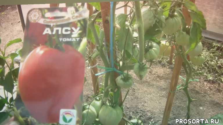томат, купить, дача, гибрид, сорт, семена, семена сорт гибрид