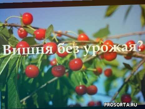 isaev sad, исаев сад, саженцы вишни, почему вишня цветет, вишня цветет без урожая, вишня не плодоносит, вишня без урожая, вишня