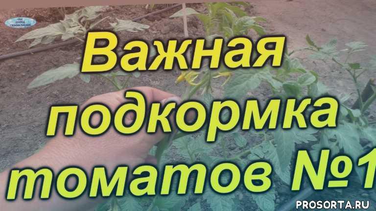 теплица, выращивание, полив, урожай, как подкормить, чем подкормить, подкормка, помидоры