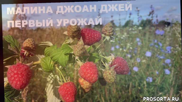 выращиваем малину, урожай малины, малина joan j, малина джоан джей