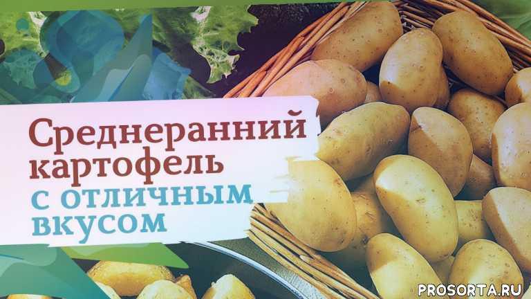 картофель джелли, картофель, дача, огород, сад, сады россии