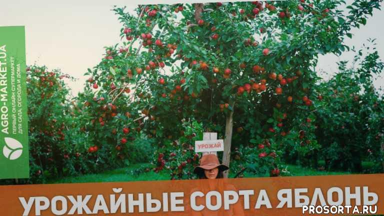 яблоня ред чиф видео, яблоня ред чиф, листья ябони, яблони летом, колоновидная яблоня, яблоня описание, яблоня, купить яблоню