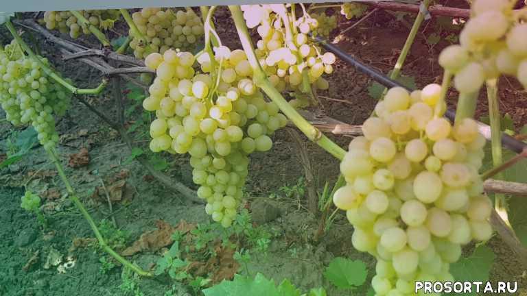 виноградник, кишмыш 342, виноград