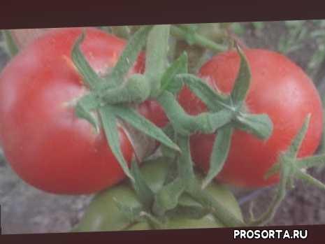 видеообзор ольга чернова, сорт вечный зов, томаты в теплице, сад огород
