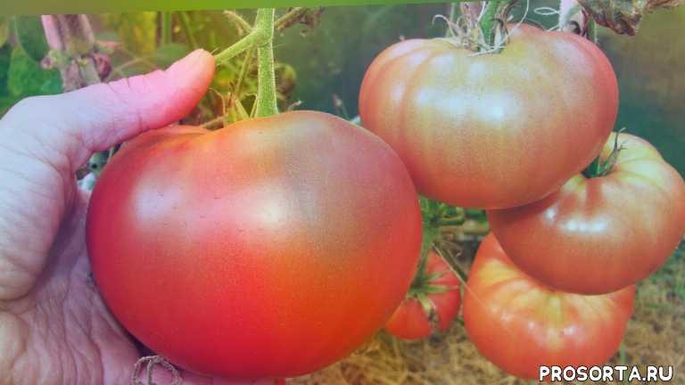 садовый мир, шадрин виктор николаевич, сорт чудо земли, сорт батяня, крупноплодные томаты, сорта томатов, томаты в открытом грунте