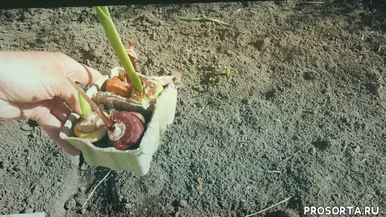 букетная посадка гладиолусов