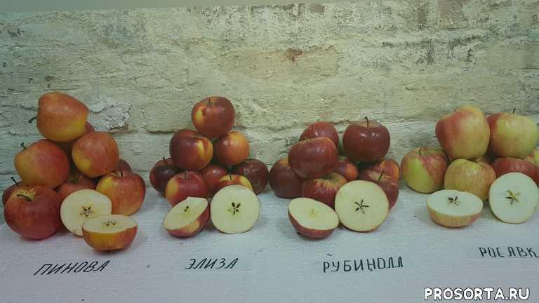 сорт яблок росавка, сорт яблок рубинола, сорт яблока элиза, сорт яблока пинова, яблоня, яблоко, сад, лучшие сорта яблок