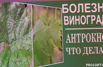чем лечить антракноз винограда, виноград болезни листьев, любимая усадьба, виноград весна, виноград обработка, виноград обработка весной, обработка винограда от болезней, болезнь винограда весной