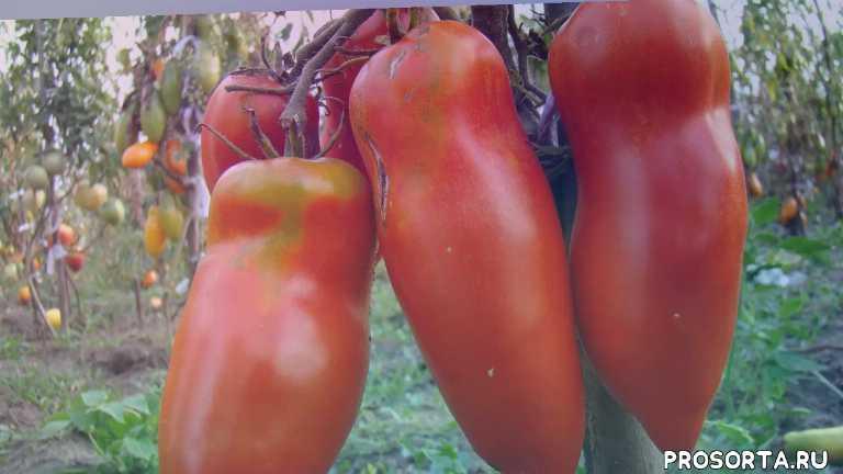 томат, томат алый мустанг характеристика томата уход за томатами в теплице в парнике чем подкормить