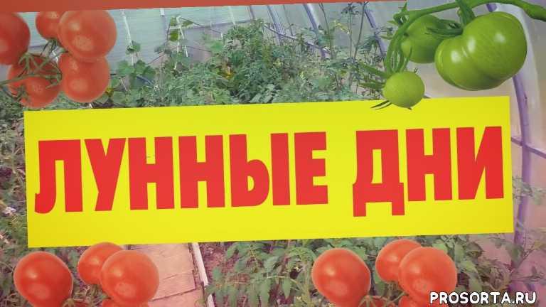 рассада помидор, рассада, томаты, семена, когда сажать помидоры на рассаду