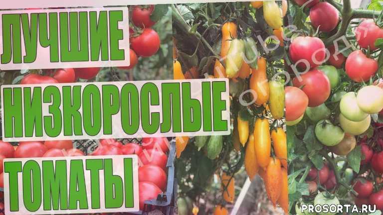 монгольский карлик, санька, любаша, банановые ноги, популярные томаты, лучшие томаты, томаты в открытом грунте, низкорослые томаты
