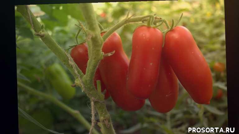 помидоры для теплицы и открытого грунта, томаты для консервирования, низкорослые томаты, помидор жиголо характеристики, томат жиголо описание