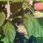 Штамбовая малина Крепыш