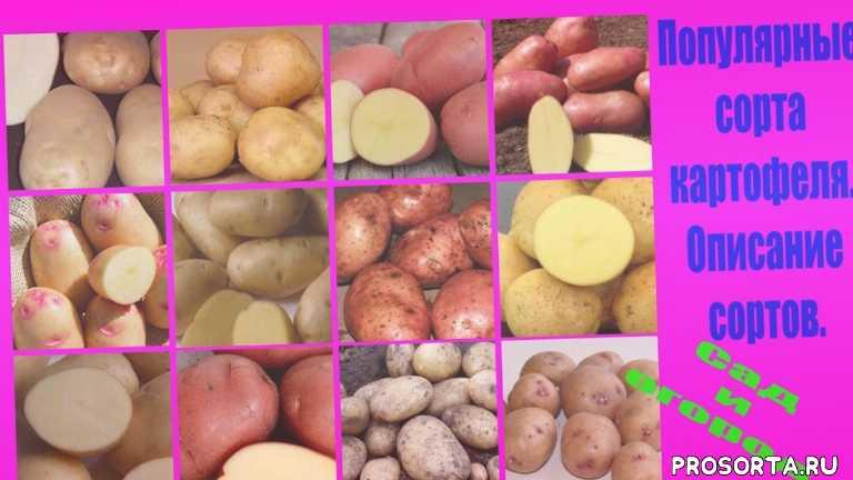 посев картофеля, выращивание картофеля, картофель уход, ранние сорта картофеля, вкусный картофель, как вырастить картошку, сорта картошки, рассада картошки