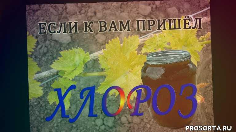 железный хлороз, хелат железа, концентрация железного купороса, железный купорос, хлороз винограда, хлороз листьев, хлороз, виноградарство
