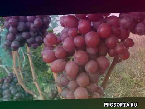 червоний виноград, оси, характеристика лівія, урожай, лівія, тернопіль, виноград лідія, виноград з мускатом