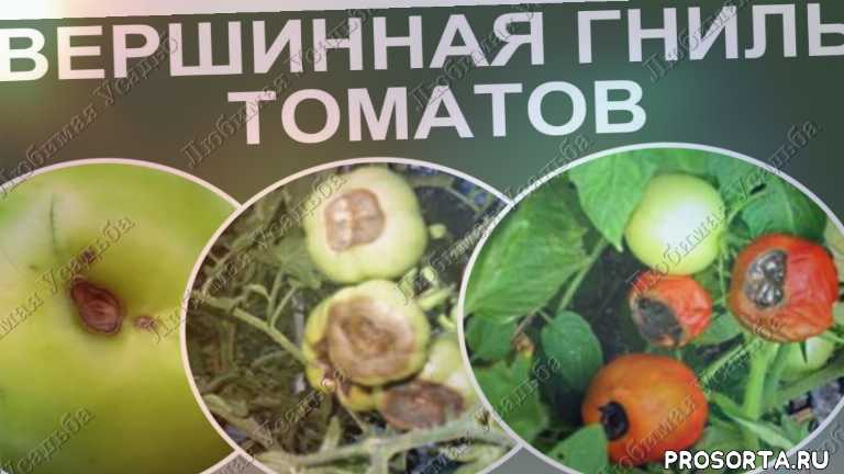 любимая усадьба, дачные советы, для открытого грунта, томаты, выращивание, помидоры в открытом грунте, уход за помидорами, болезни томатов и их лечение