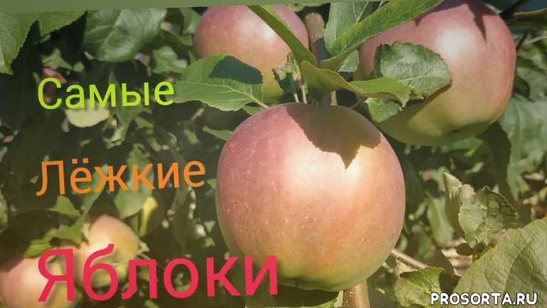 самые вкусные яблоки анте, лучшие сорта яблонь, плодовый сад, плодовые деревья, сорта яблонь, садогород, позднеосенняя яблоня, зимние сорта яблок