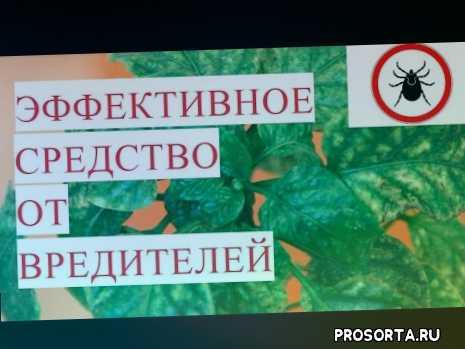 vo sadu li v ogorode, minyaeva, миняева, во саду ли в огороде, топ трипс, трипсы, как бороться с паутинным клещом, паутинный клещ на комнатных растениях