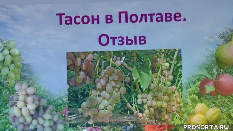 отзыв о винограде, вкусный виноград, хороший виноград, виноград бело-розовый, столовый виноград, виноград мускат, виноград тасон, виноград 2018