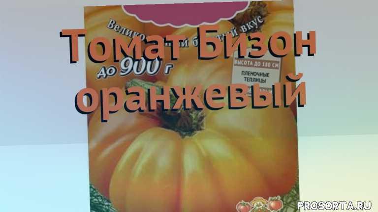 томат обыкновенный бизон оранжевый как сажать, томат обыкновенный бизон оранжевый обзор, томат бизон оранжевый обзор как сажать, травы, обыкновенный томат бизон оранжевый обзор как сажать, обыкновенный томат бизон оранжевый обзор, обыкновенный томат, обыкновенный томат бизон оранжевый