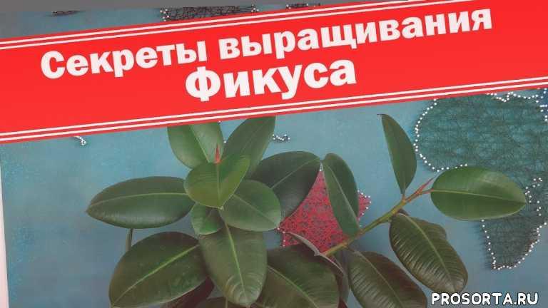 фикус каучуконосный, комнатные растения, размножение фикуса, как размножить фикус, комнатные цветы, как правильно, правильный способ, простой способ