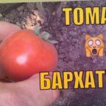 Томат Бархатный. Необычные томаты.