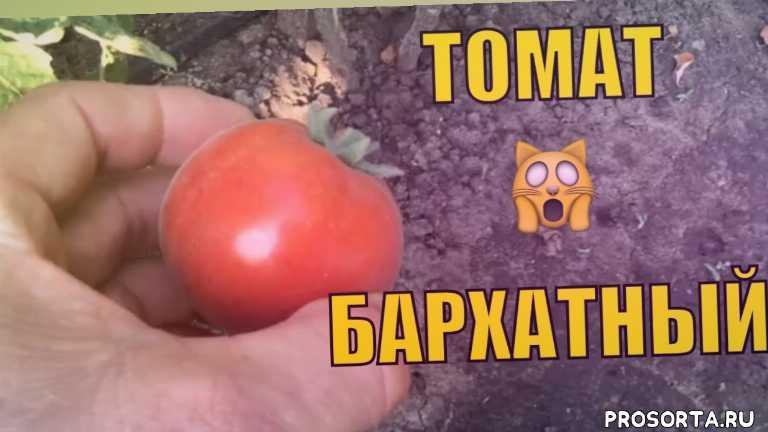 в урожае, юрий гавриш, необычные сорта томатов, мои томаты, томат бархатный пижон, томат бархатный видео, высокорослые томаты в открытом грунте, высокорослые томаты