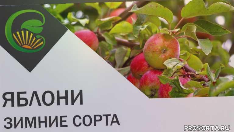 Яблони -- зимние сорта