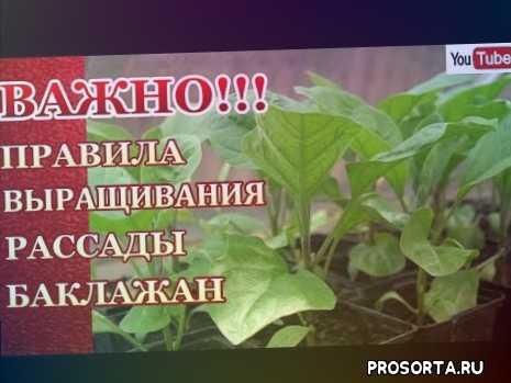 когда сеять баклажаны, когда пикировать баклажаны, svetlana-obovsem, правильное выращивание рассады, красивая рассада баклажан, как вырастить баклажаны, баклажаны, вырастить баклажаны