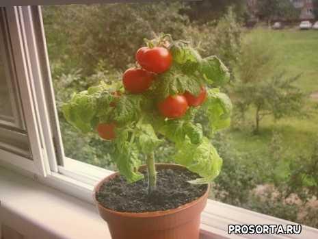для начинающих, инструкция с нуля, помидоры в домашних условиях, какие сорта помидор можно выращивать дома, помидоры на подоконнике, помидоры на окне, как вырастить помидоры
