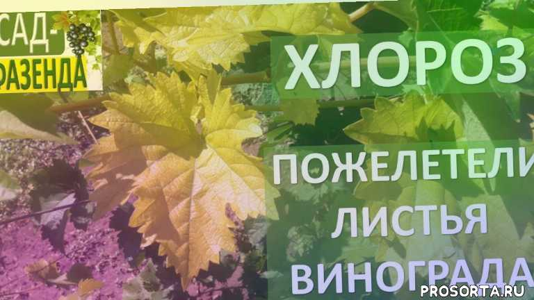 хилат, как бороться с хлорозом, пожелтели листья, болезни винограда, виноград, хлороз